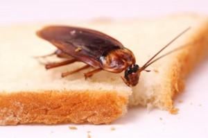 Αποφράξεις - Απολυμάνσεις στο Λαύριο - κατσαρίδα σε ψωμί